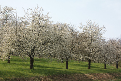 Flowering cherry trees